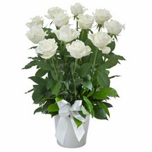Arrangement of 12 White Roses in a Ceramic Pot